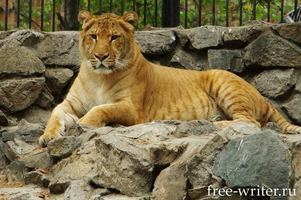 Болезни как тигры